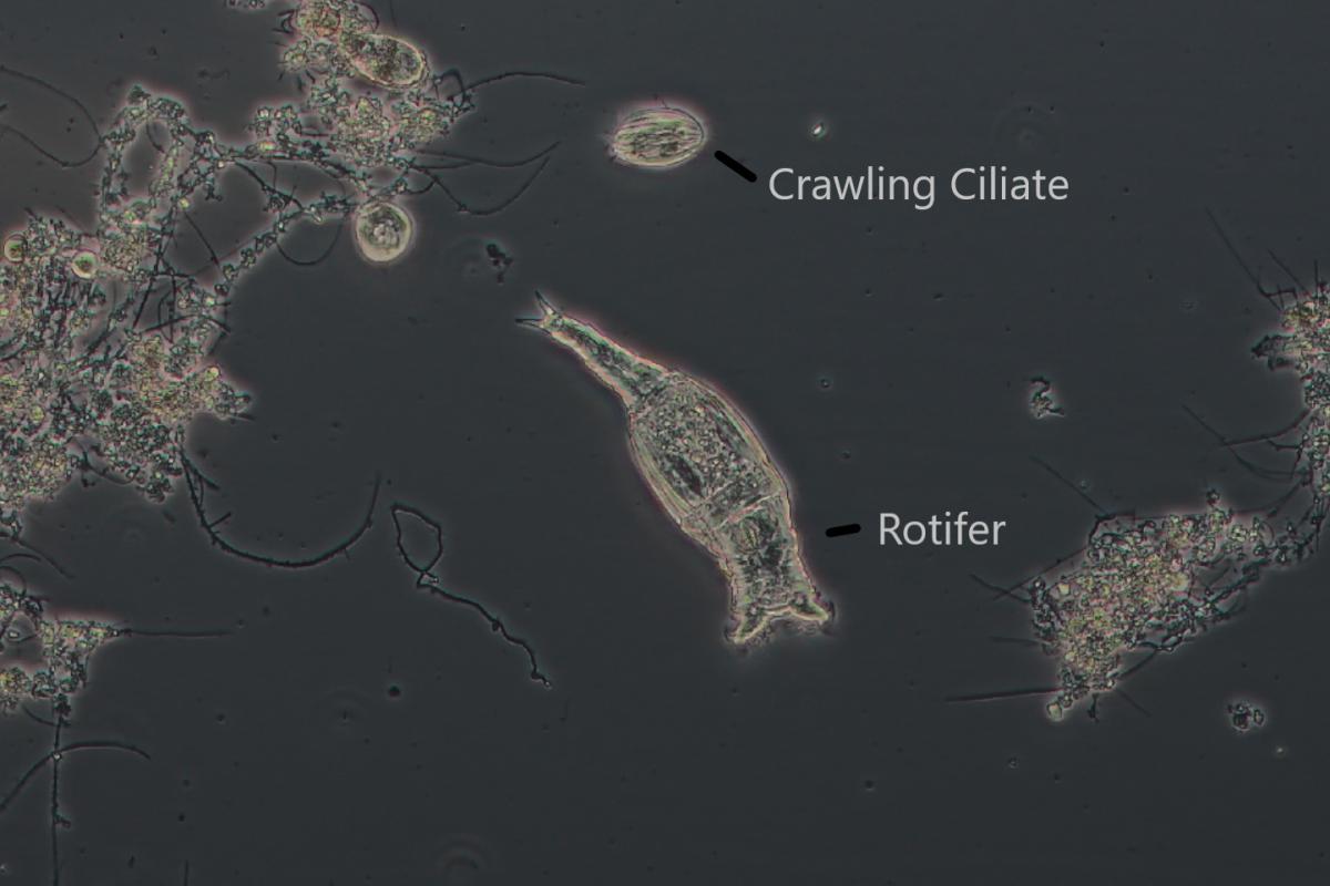 Rotifer and Crawling Ciliates